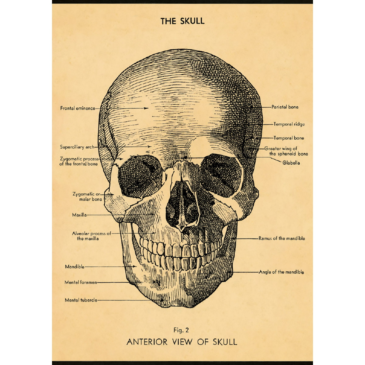 Skull Human Anatomy Scientific Chart Poster | Vintage Style Paper ...