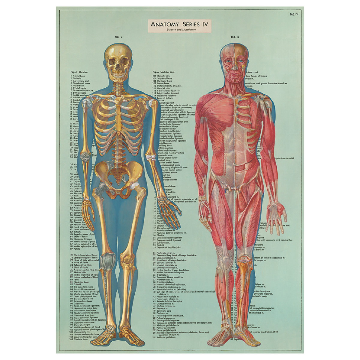 Human Anatomy Bones & Muscles Scientific Chart Poster | Vintage ...