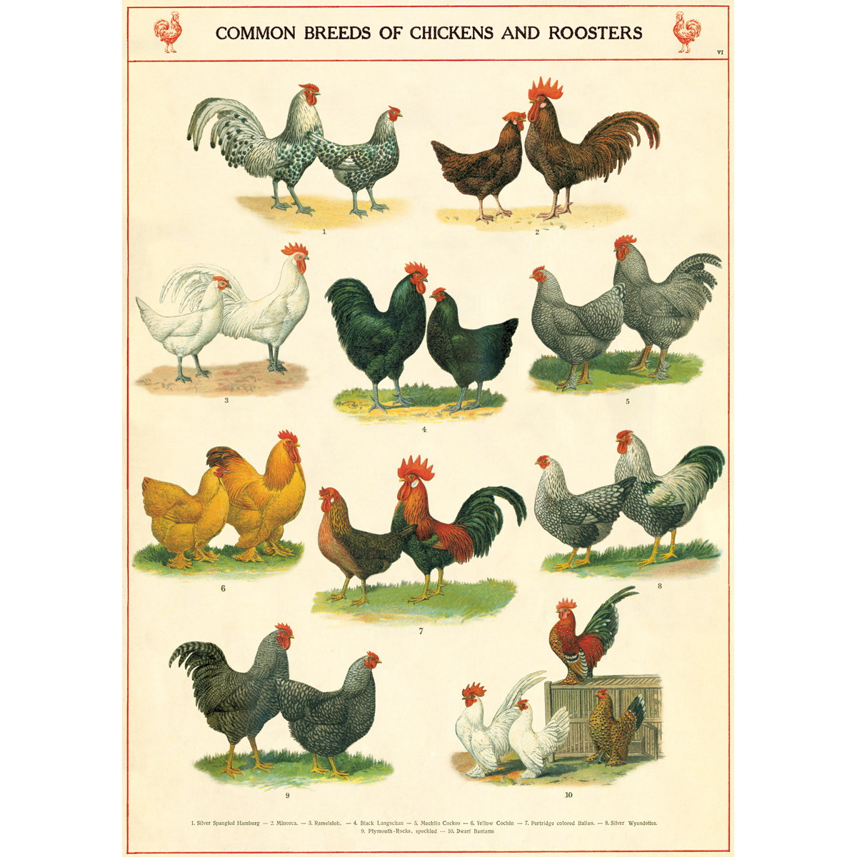 Chicken rooster breeds chart vintage style poster decorative