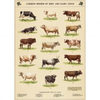 Beef Dairy Cow Breed Chart Vintage Style Poster